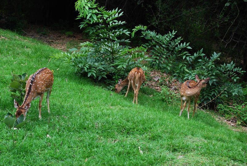 Deer at Bandipur