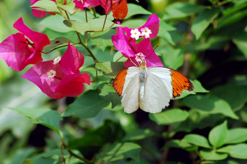 The Great Orange Tip