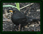 Title: Blackbird ... but where are the females?