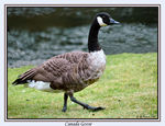 Title: Goose on the Loose!