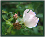 Title: Wildrose :Before, Now, Next!