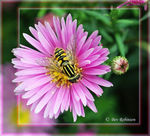 Title: First to the Michaelmas Daisies