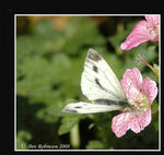 Title: A Welcomed Green-veined White