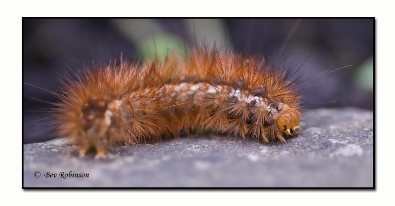A furry caterpillar - Help!