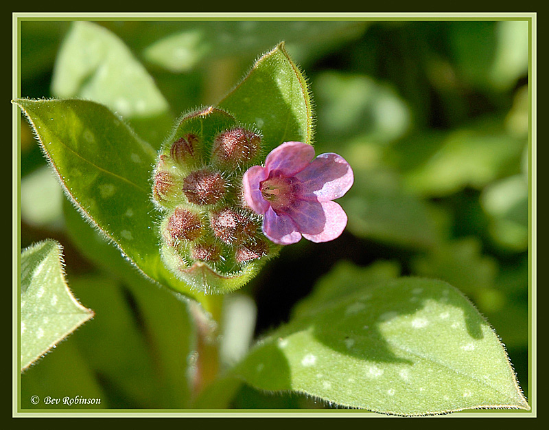 The pretty, spring flowering Lungwort