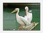 Title: Pelican preening isn't easy!