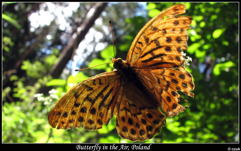 Butterfly in the Air