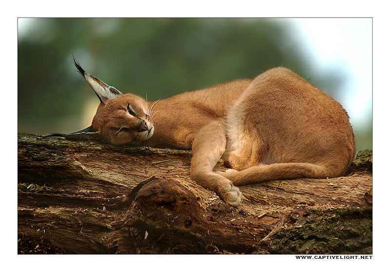Sleeping Caracal