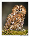 Title: Tawny Owl In The Forest