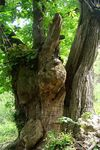 Title: Trunk of Chestnut-tree