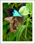 Title: Ulysses butterfly