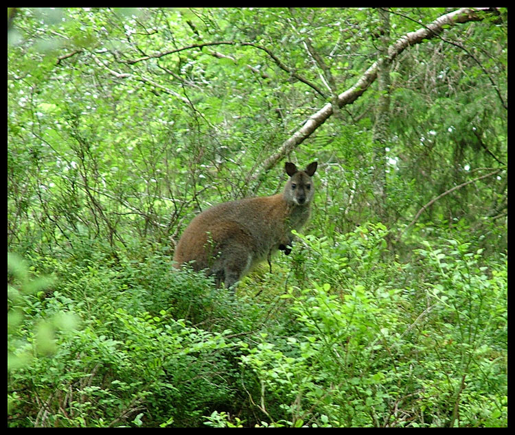 Scottish Wallaby
