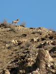 Title: Central Alborz wild sheep 2
