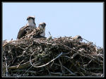 Title: Osprey with Chicks