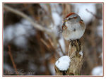 Title: American Tree Sparrow Camera: Canon EOS 20D