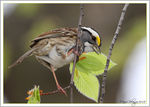 Title: White-throated Sparrow
