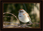 Title: American Tree Sparrow