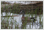 Title: American Wigeon