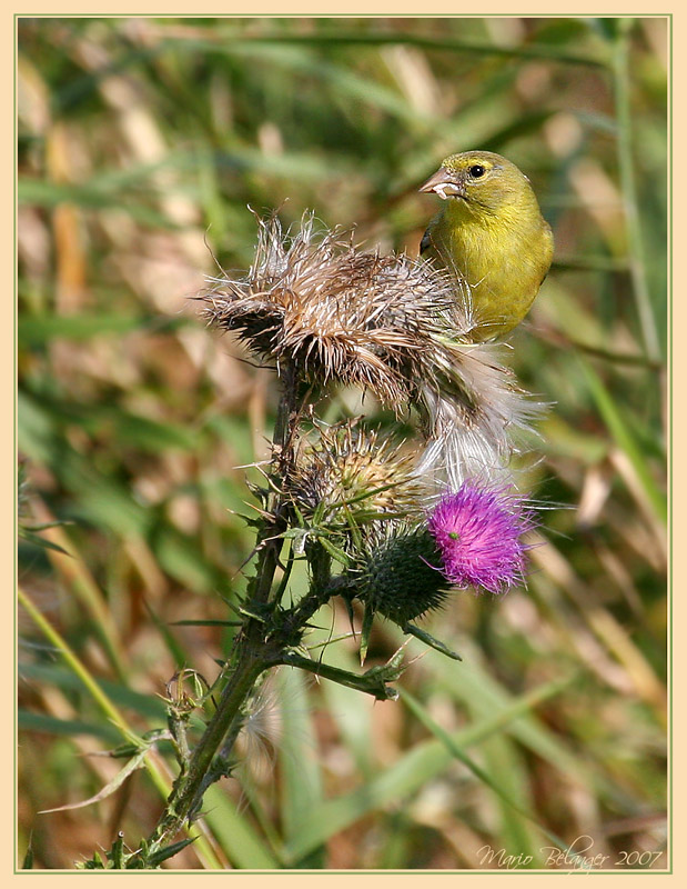Golfinch and Thistle