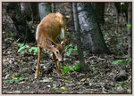 Title: White-tailed Deer