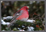 Title: Pine Grosbeak