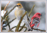 Title: Pine Grosbeak couple