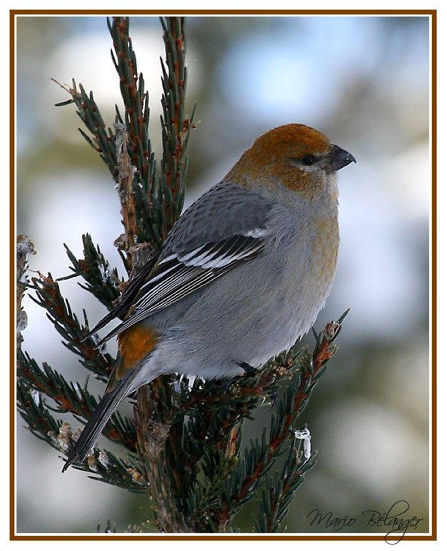 Pine Grosbeak V