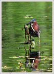 Title: Green Heron and Frog