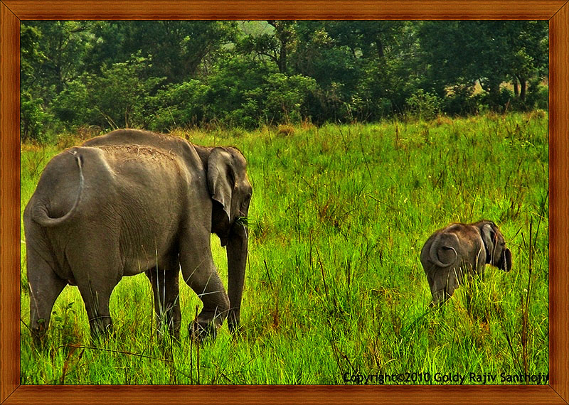 The Asian Elephant Series 38