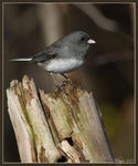 Title: Dark-eyed Junco Camera: Canon EOS 40D