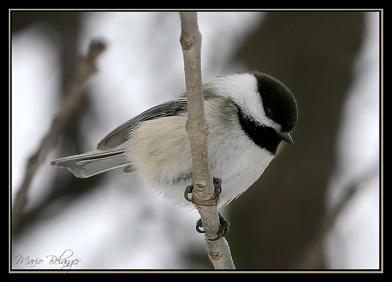 Black-Capped Friend