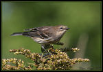 Title: Yellow-Rumped Warbler Camera: Canon EOS 20D
