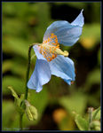 Title: Himalayan Blue PoppyCanon EOS 20D