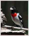Title: Rose-breasted Grosbeak
