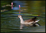 Title: Young Moorhen