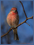 Title: House Finch