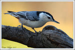 Title: White Breasted NuthatchCanon EOS 40D