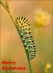 Title: �Larvae papilio machaon��