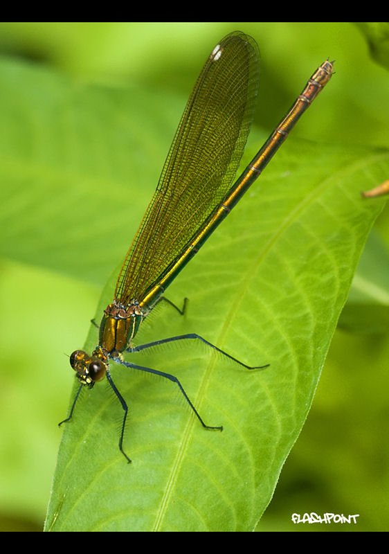 �female Calopteryx splendens��