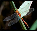 Title: �Green-Eyed Hawker male��