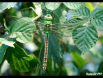 Title: �Anax imperator female��