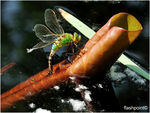 Title: �anax imperator oviposition��