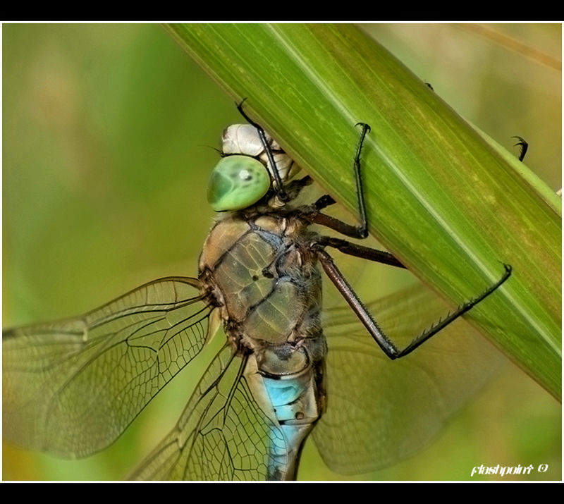 �anax parthenope two��