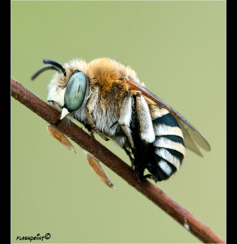 �Anthophora affabilis��