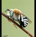 Title: �Anthophora affabilis��