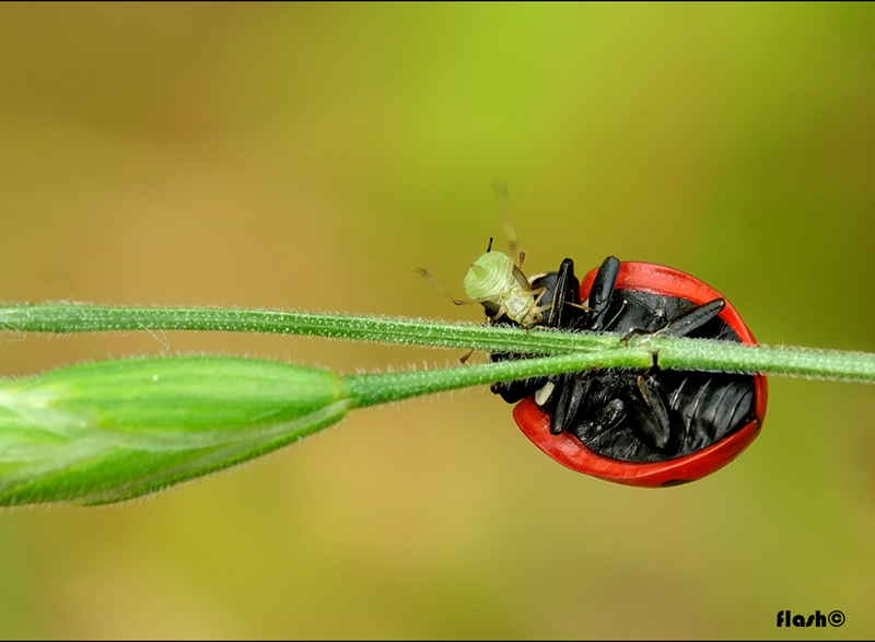 �aphid meal��