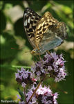 Title: �Silver-washed Fritillary female��