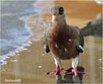 Title: �bare eyed pigeon��