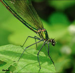 Title: �finally calopteryx splendens��