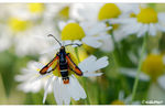 Title: �chamomile for Fiery Clearwing��